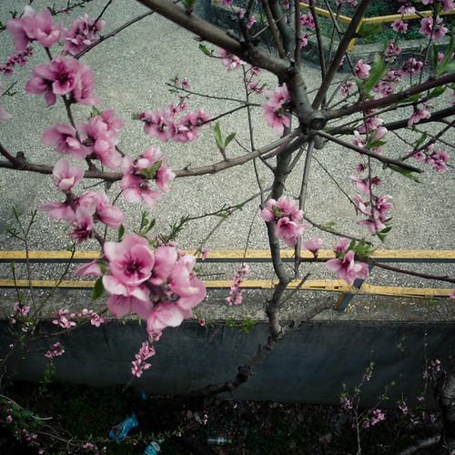 Pink Beauties and Asphalt, Tokyo
