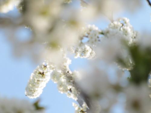 Ciliegio in fiore 11