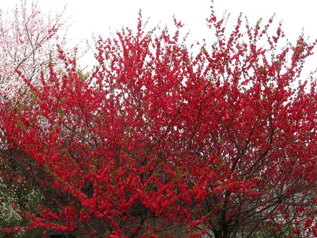 梅の木のフリー写真素材