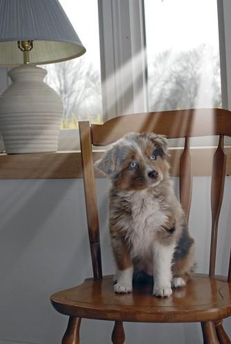 フリー写真素材, 動物, 哺乳類, イヌ科, 犬・イヌ, オーストラリアン・シェパード, 子犬・小犬,