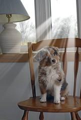 [フリー画像] 動物, 哺乳類, イヌ科, 犬・イヌ, オーストラリアン・シェパード, 子犬・小犬, 201104131100
