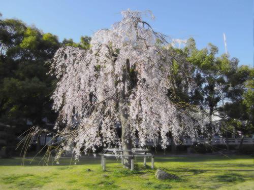 石山公園のしだれ桜
