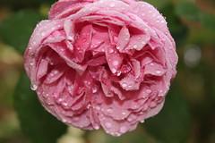 Wet Rose 2
