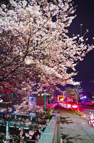 Cherry blossoms in night 08