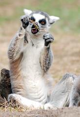 Ring tailed lemur (floridapfe) Tags: animal zoo nikon korea fox everland ringtailedlemur  d80