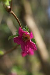 DSC08629 (zabrina mystery) Tags: pink green floral spring april 2011 zabrinamystery shadowlandgraphics hennysgardens