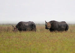 Ngorogoro Rhinos