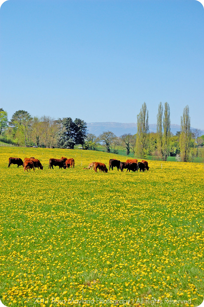Springtime Cows And Flowers 1.1 bis