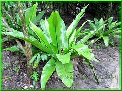 Asplendium Nidus: ground-grown at Sg. Klah Hot Springs Park