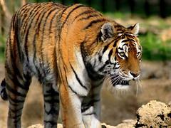 Tigre de Sibrie (home77_Pascale) Tags: france animal tigre flin fauve tigredesibrie parcdesflins nesles vigilantphotographersunite vpu2