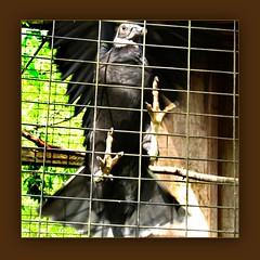 ebony (mimbrava) Tags: black bird birds mimbrava friendly arr vulture cnc blackvulture coragypsatratus allrightsreserved flutteryfriday mimeisenberg mimbravastudio superec
