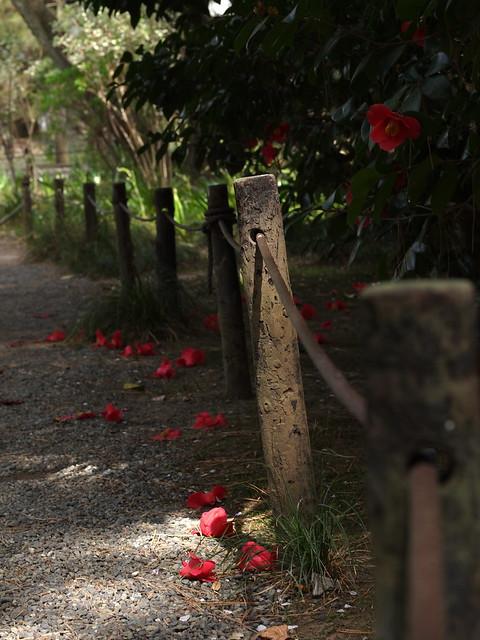 Fallen Camellia