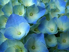 hortensia (Yoajenjo) Tags: masterphotos lovelyflickr