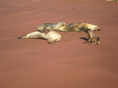 Galapagos Sealions 2
