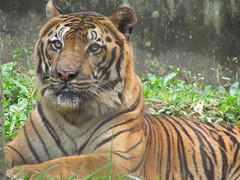 Juan-2 (jazzpics) Tags: juan tiger felino felines zooparque