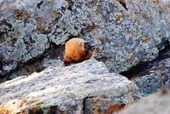 Marmot-6 (yakkhapadma) Tags: nature southdakota outdoors photos pics marmots rapidcitysd cowboyhill