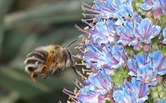 Attimo (Cammino & Vivo Capovolto  Claudio ) Tags: light flower macro fly focus colore details bee volo ape dettagli fiore colori luce springtime attimo