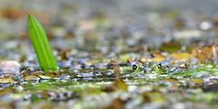 Frosch (Michael Döring) Tags: frog bochum frosch d300 botanischergarten querenburg ruhruniversitätbochum afs70200 michaeldöring