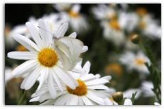 un difícil equilibrio... (istar-famiredo) Tags: flowers flores grancanaria butterfly mariposa margaritas amistad graden jardín daisys jardínbotánico freindship canon500d