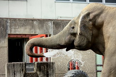 Elephant (Kohei314) Tags: elephant zoo