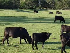 Farmland South Durras, NSW (Eurobodalla) Tags: nature cows australia nsw newsouthwales lush southcoast farmlife eurobodalla farmlandsouthdurras