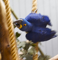 attack! (davedehetre) Tags: blue motion blur bird eye yellow zoo fly 3d movement attack stlouis feathers fast parrot rope bite approach