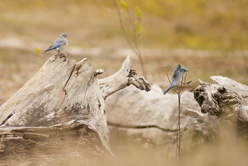 Mountain Blue Birds