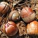 Acorns along the trail near Glen Lake. Photo: Stuart Delman.
