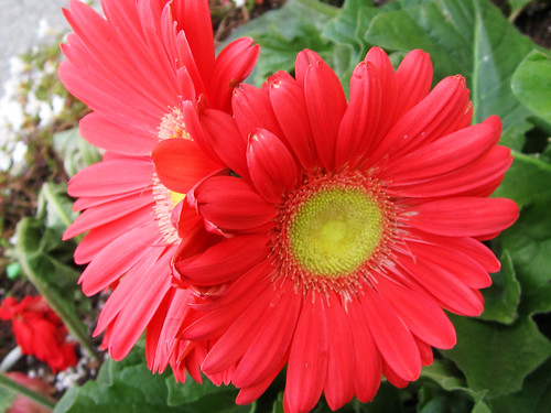 Red Daisy