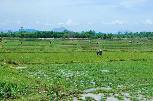 Koh Yao Noi Rice