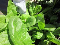 Raccolta degli spinaci 23