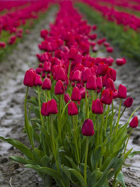645D Tulips - 6