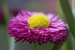 Pink beauty (uiltje) Tags: pink flowers green yellow flora groen 7d geel bloemen roze canoneos7d ef100mmf28lisusmmacro