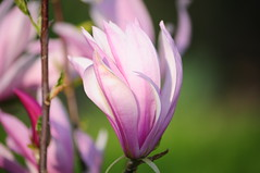Pink Magnolia (EJ Images) Tags: uk england plant flower tree slr garden suffolk nikon pinkflower magnolia dslr eastanglia sping magnoliatree pinkmagnolia nikonslr d90 nikondslr nikond90 spring2011