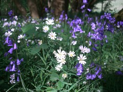 Greater Stitchwort and Bluebells (Tim Sheerman-Chase) Tags: life wood flowers depthoffield cobweb overexposed specimen stellaria hyacinthoides holostea nonscripta taxonomy:binomial=hyacinthoidesnonscripta taxonomy:binomial=stellariaholostea