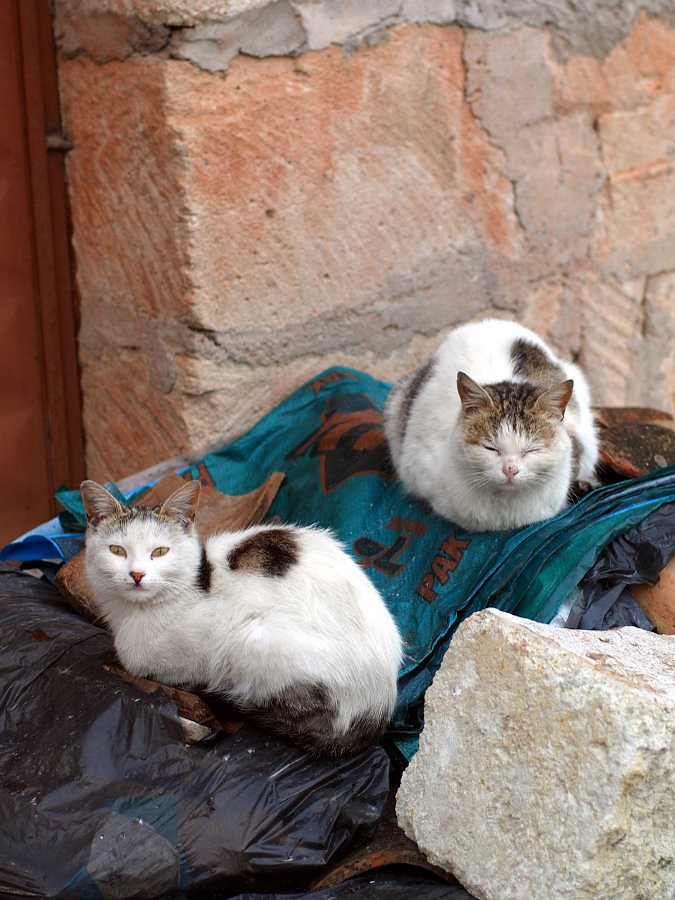 Turkish cats