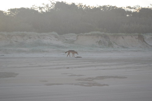 Nomads Fraser Island Tours - Dingo on 75 Mile Beach