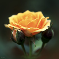 Happy Mother's Day! (-clicking-) Tags: lighting light orange flower macro love nature floral beautiful rose yellow closeup petals spring flora dof natural blossom bokeh rosa bloom rosary lovely springtime blooming happymothersday hoahng symboloflove 100commentgroup vietnameseflowers