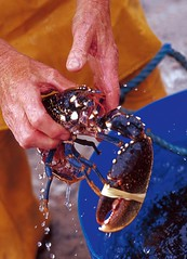 Holding a Fresh Lobster