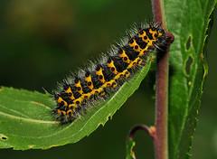 1643 Emperor Moth - Saturnia pavonia - Caterpillar (Pete Withers) Tags: nikon moth peter pete saturnia emperor 1643 pavonia withers d300 emperormothcaterpillar petewithers peterwithers petewithersbutterflies
