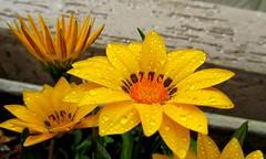 amarelo (Lilian Avelar) Tags: flowers plants flores macro nature wet water rain yellow gua garden cores photo drops plantas colours close natureza chuva gotas amarelo jardim