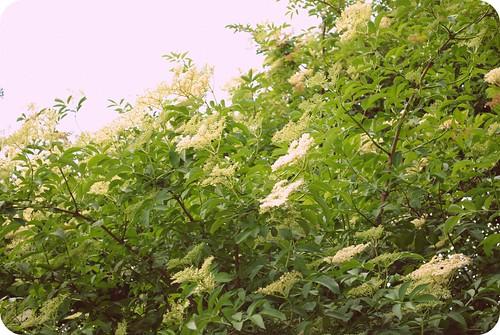 elderflower cordial ::