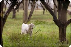 Kids bump (JustaMonster) Tags: kid goat bumpy orangeorchard odc2 ourdailychallenge verywetdaytodayiwasstandinginmud