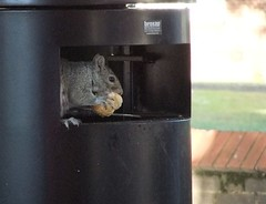 Squirrel eating a burger (IRGlover) Tags: london squirrel bin junkfood carnivore bushytailedrat