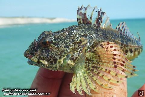 Longspined Bullhead - Taurulus bubalis