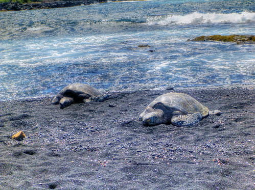 Hawaiian Green Sea Turtles (Honu)