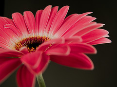 177/365 2011 Flower (susiecw47) Tags: pink flower macro petals olympus potd stamen daisy 365 e500