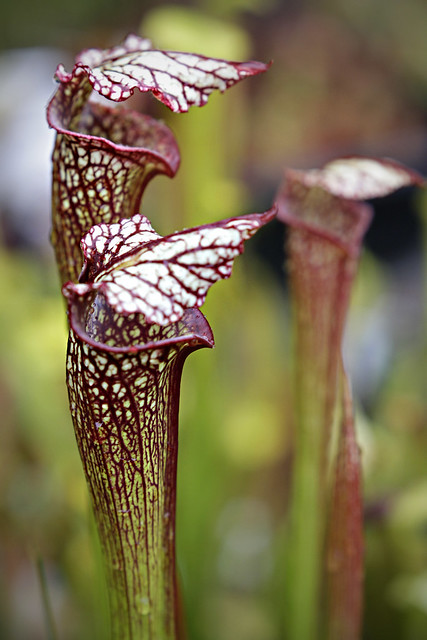 "Sarracenia leucophylla ""Purple Lips"" x 'Royal Ruby'"