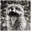 Fox In Mono Minus The Meerkat!! (Samantha Nicol Art Photography) Tags: portrait white black mouth square fur mono teeth yawn fox samantha nicol