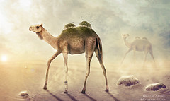 Carrying Mountains (cargando montaas) (balt-arts) Tags: sun mountain art nature desert surreal camel jungle baltasar vischi
